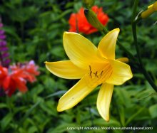 Yellow flower Darlana