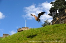 Vulture at Warwick Castle