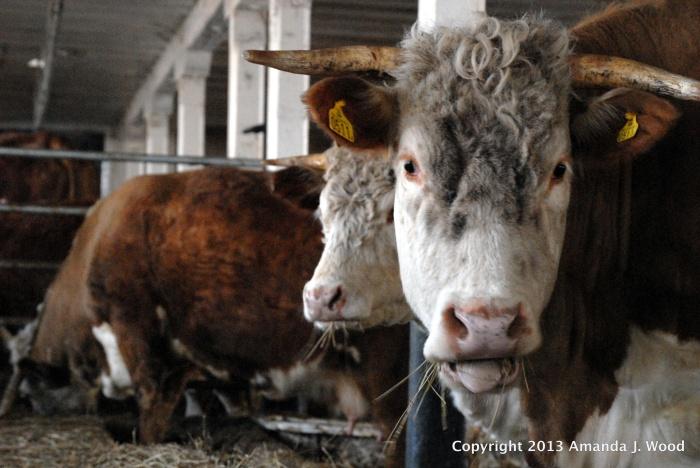 Baby Cow Eyelashes Journey Of Mixed Emotions