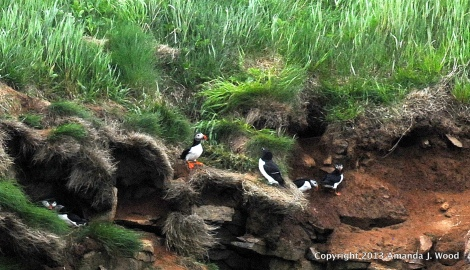 The Atlantic puffin nesting high on the cliffs. Click the image to go to the story about how these birds are in danger