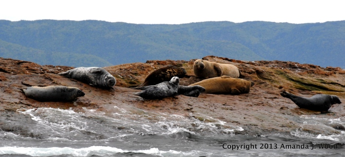 A family of grey seals. Click the image to go to the Grey Seal Conservation Society website