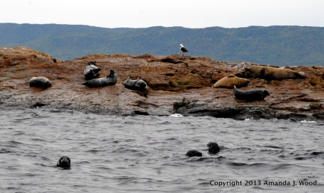 Grey seals in the water and on the rocks