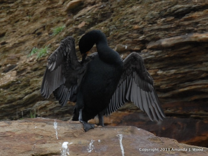 What's that? I smell like fish? A double crested cormorant