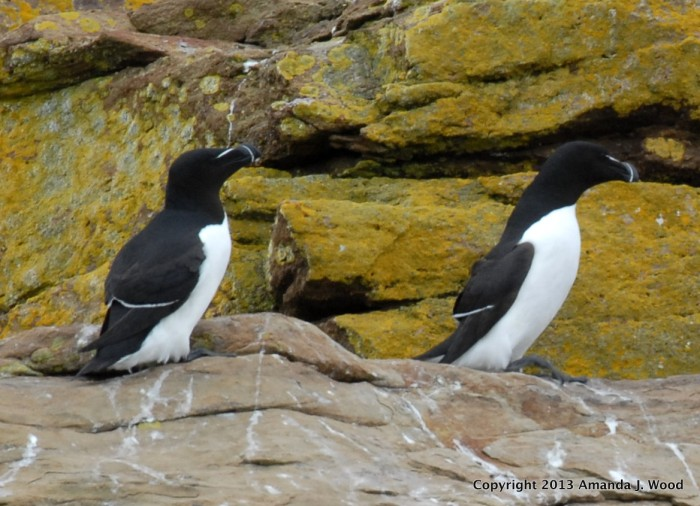 I am a cute razorbill. Click the image to go to Cornell Lab of Ornithology website