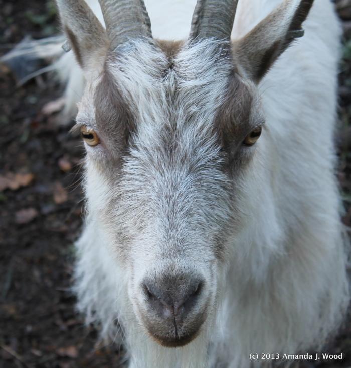 Mr. Goat
