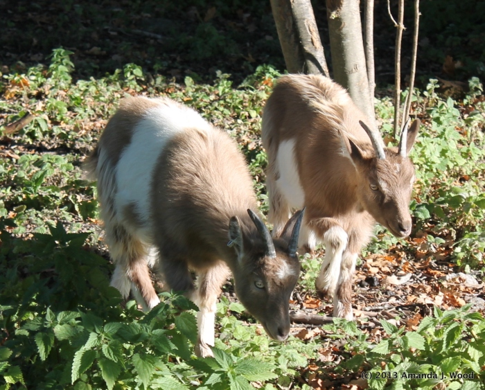 Maybe these are Swedish Landrace goats.
