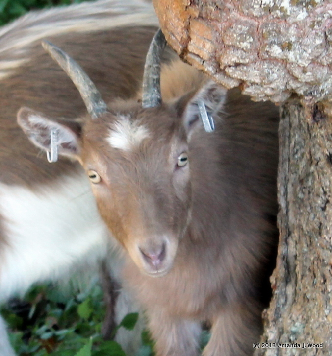 I am cute as a baby goat.
