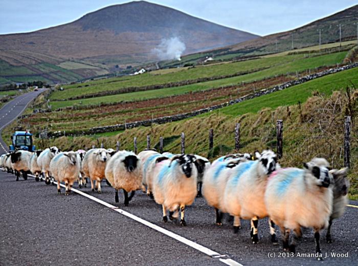 Sheep traffic jam in Dingle, Ireland