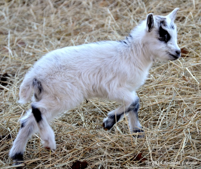A new goat kid, probably a week old bounds out of the stable