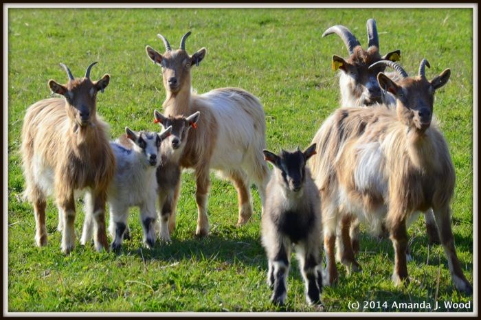 The Goats of Stafsund.