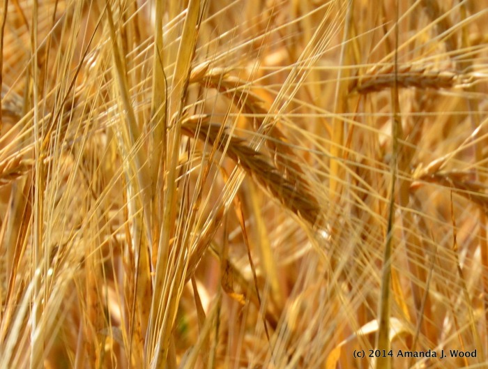 Look down and in to see the texture of the wheat fields